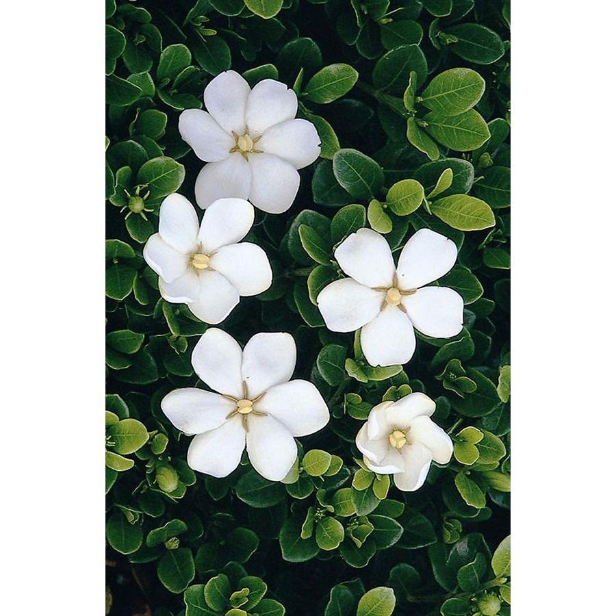 Monrovia White White Gem Gardenia Flowering Shrub In Pot With