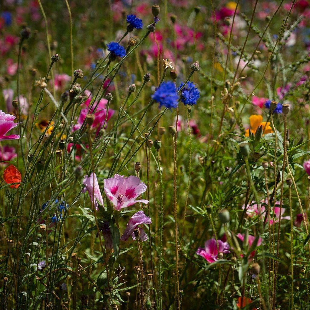 1 4 Pound Wildflower Mix Beautiful Colors Wildflower Seeds Wild Flowers Gloriosa Daisy