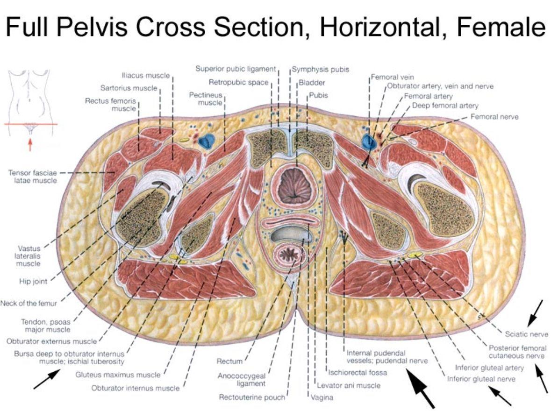 hight resolution of female pelvis horizontal cross section