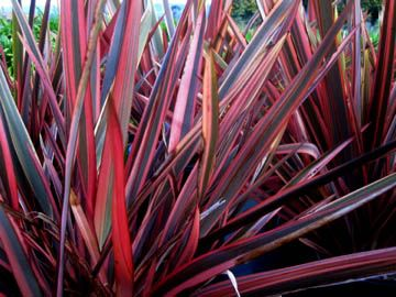 Crescent Hill Nursery Plants New Zealand Flax Perennial Plants