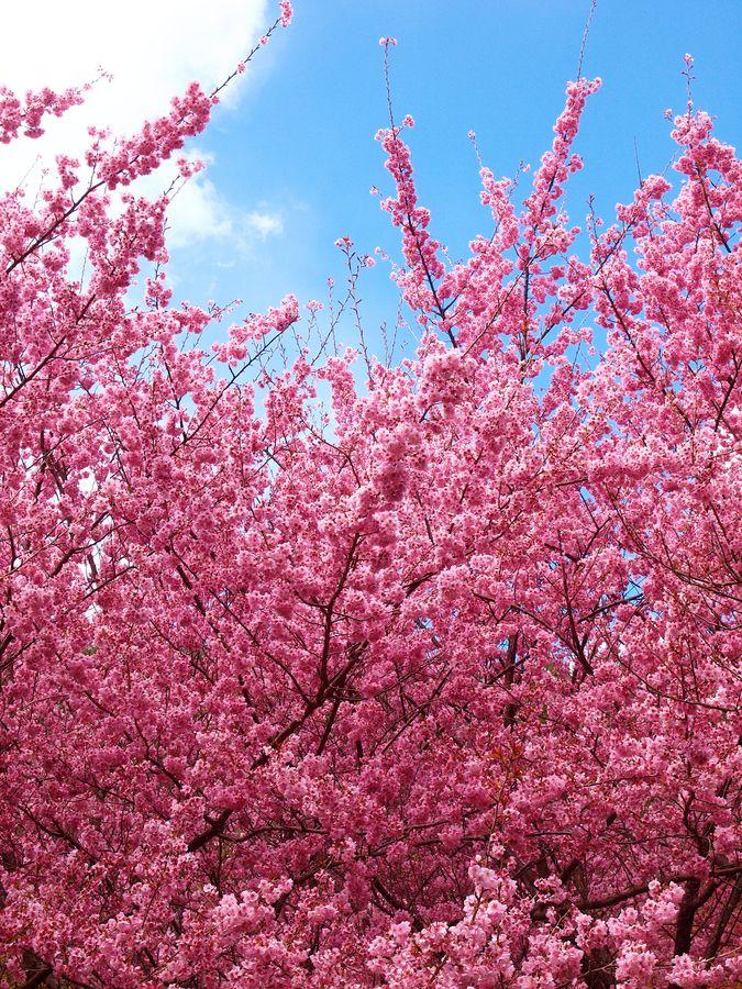 Flourishing Cherry Blossoms Pink Trees Blossom Spring Photos