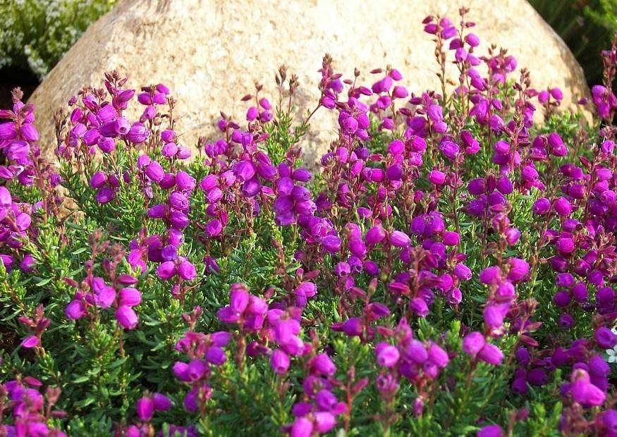 Daboecia Cantabrica Heather Plants Planting Flowers Climbing Roses
