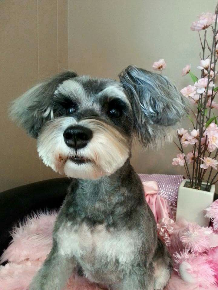 Example Of Asian Styling With Long Ears Schnauzer Grooming Dog Grooming Styles Mini Schnauzer Puppies