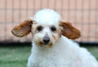 Adopt Jerry A Lovely 10 Years 4 Months Dog Available For Adoption