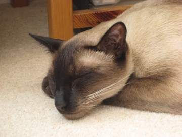Siamese Cat Adoption Sharing Our Favorite Siamese Rescue Stories Balinese Cat Cat Adoption Siamese Cats