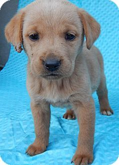 Sussex Nj Golden Retriever Meet Berlin 5 Lbs A Puppy For
