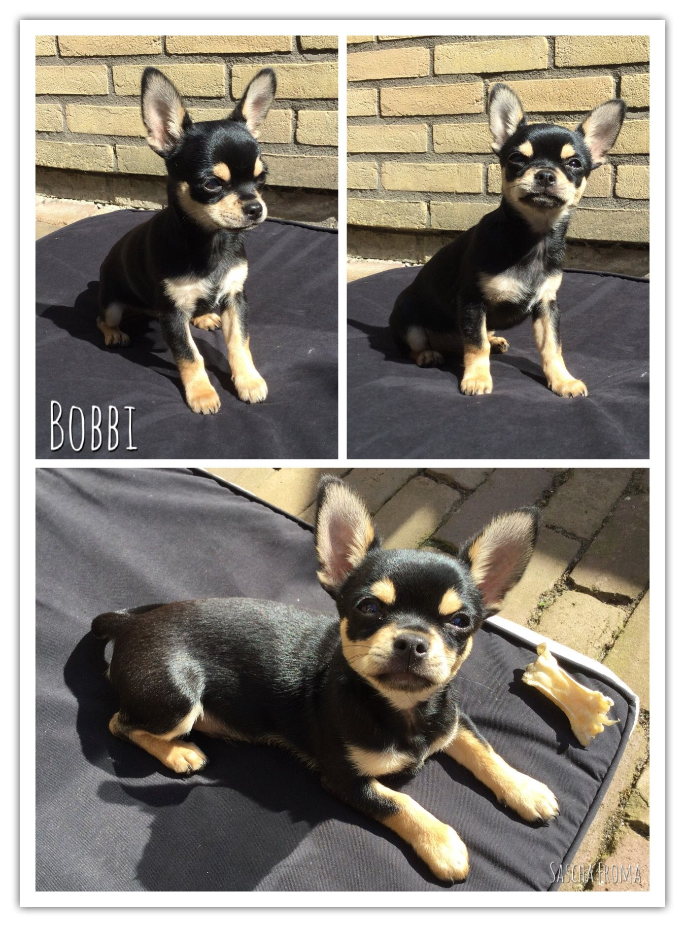 Bobbi My Four Month Old Black And Tan Short Hair Apple Head