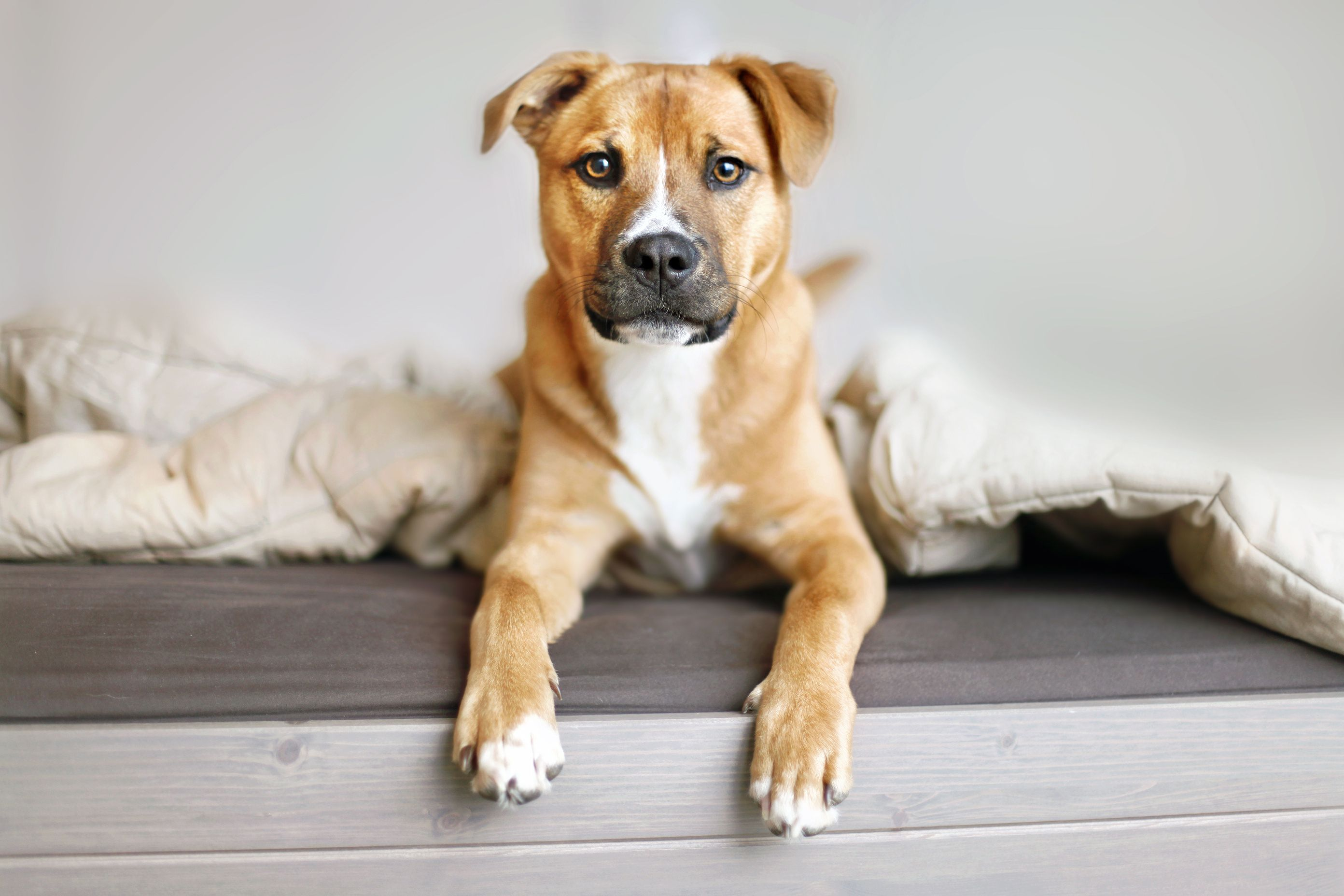 14 Best Short Haired Dogs For Your Family These Short Haired Dogs Are Adorable Family Friendly And Don T Ne In 2020 Mixed Breed Dogs Short Haired Dogs Mutt Puppies