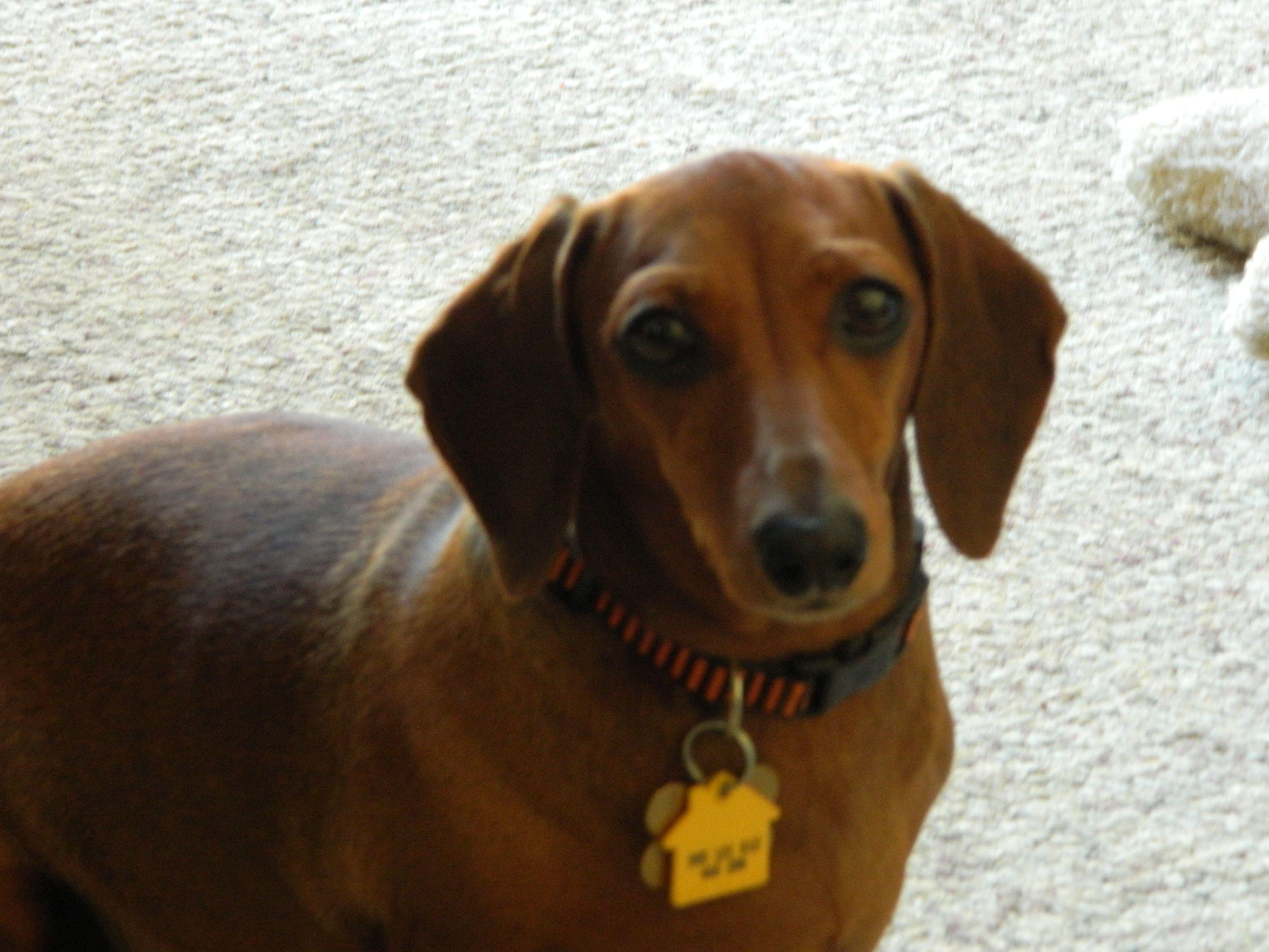 My Tweenie Dottie Dachshund Dogs Animals