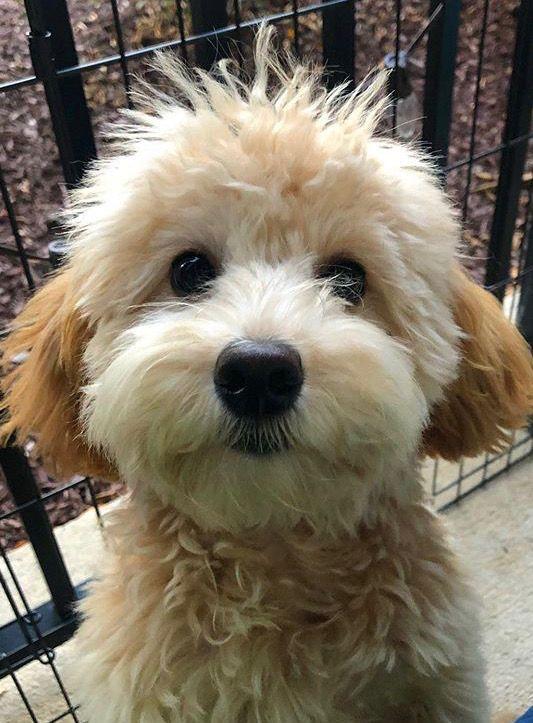 Izzy, mini goldendoodle from #crockettdoodles #babyanimals