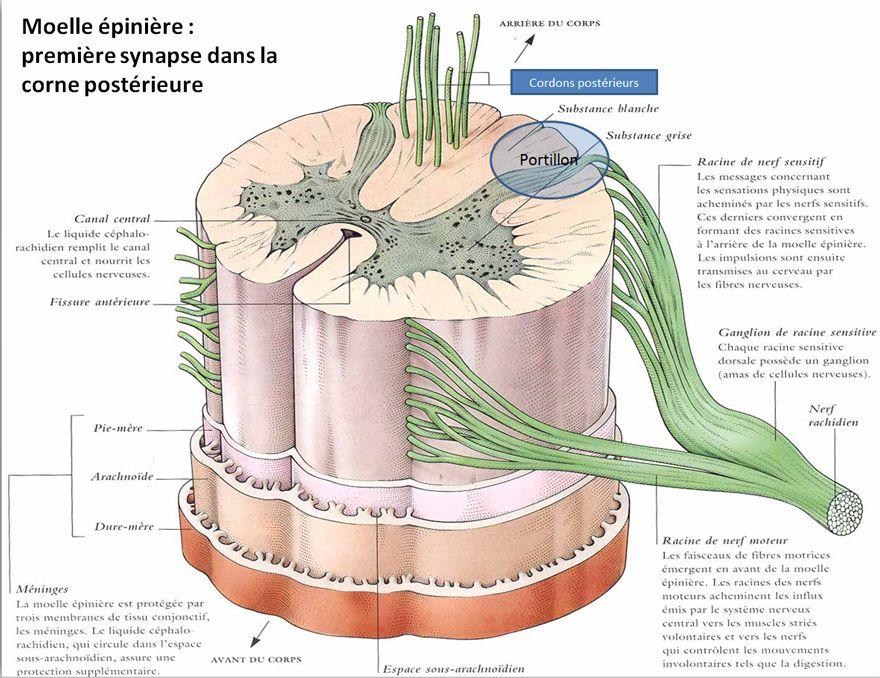 Moelle épinière : première synapse dans la corne postérieure   Palli ...