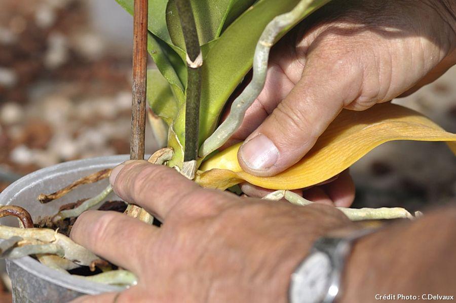 orchidee feuille jaune