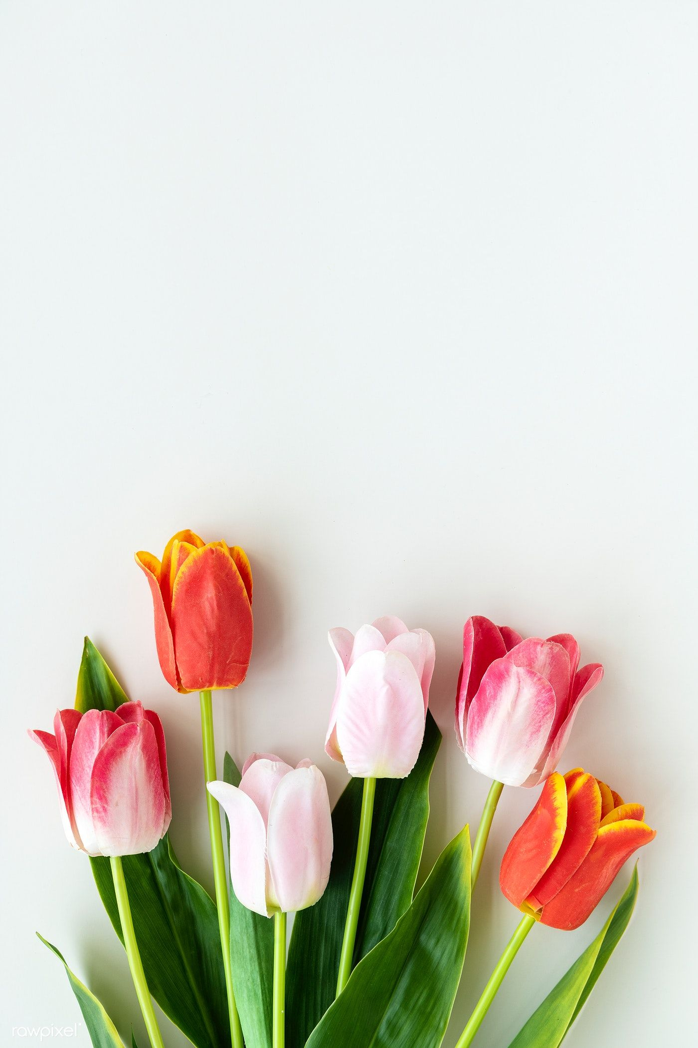 Download Premium Image Of Pink And Orange Tulips On Blank White Background Blank White Background Flower Wallpaper Spring Wallpaper
