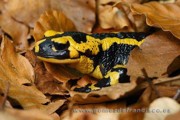 salamandra del montseny