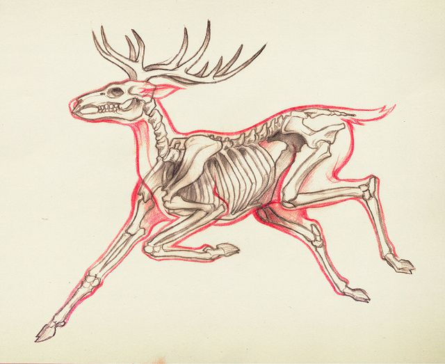Anatomy Of A Jumping Deer | Pinterest | Anatomy, Animal anatomy and ...