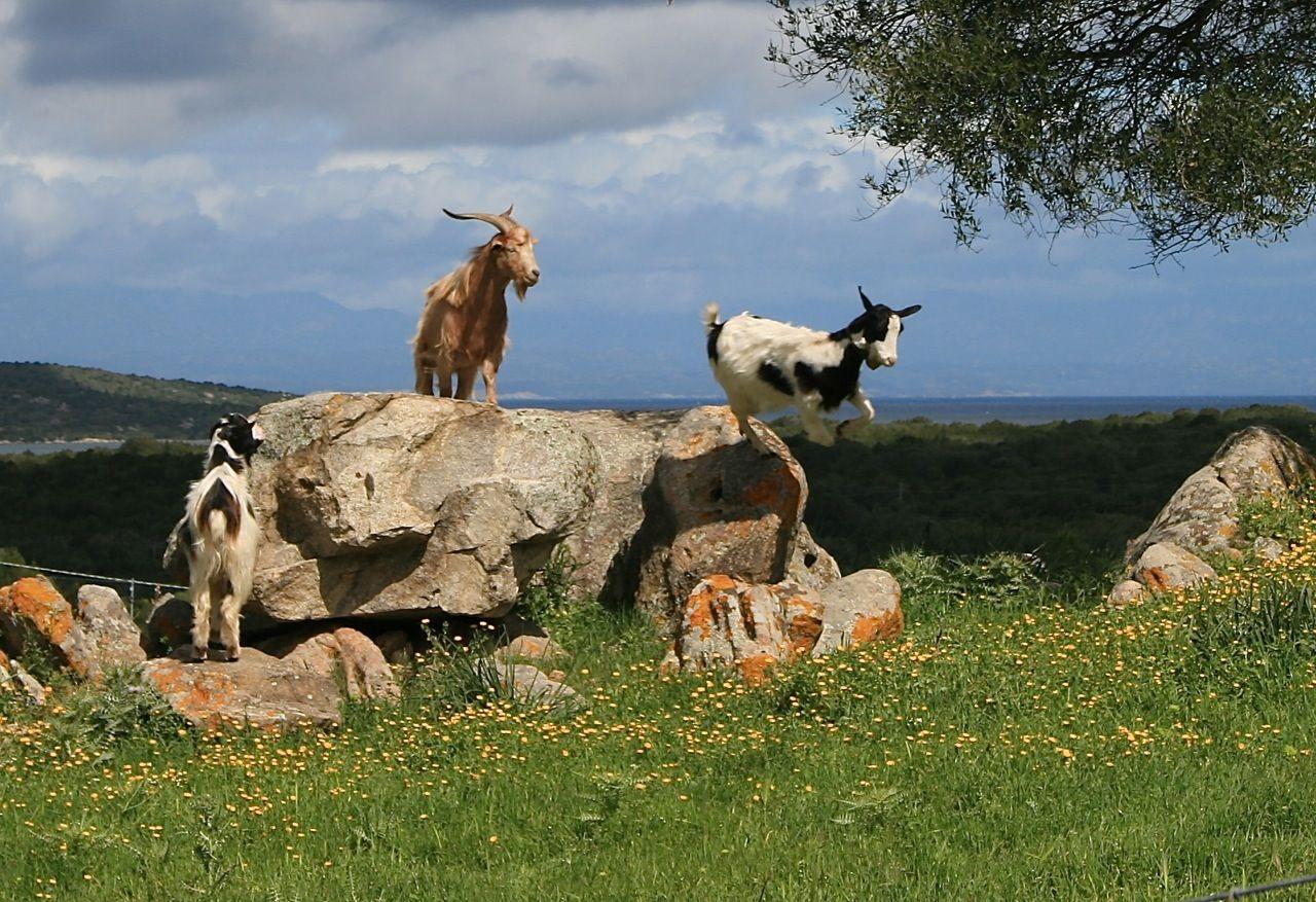 Ziegen - capre - goats (Gallura)