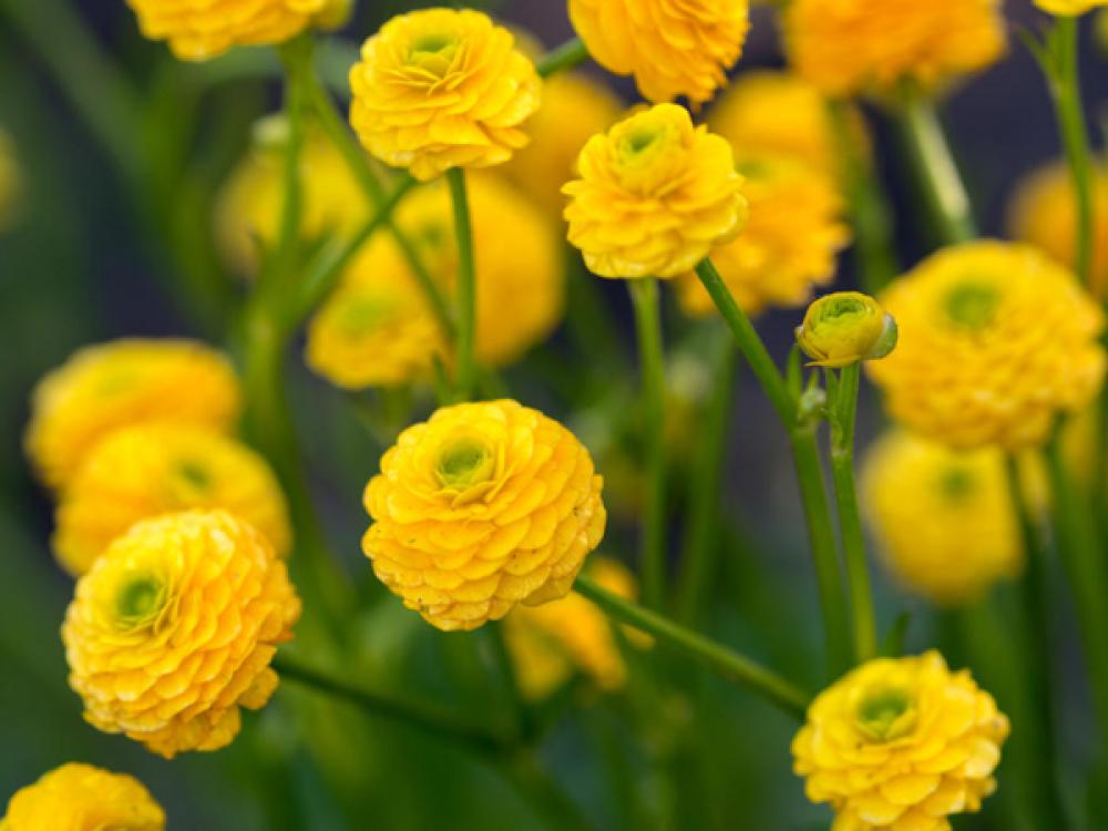 Ranunculus Acris Flore Pleno In 2020 Ranunculus Plants Buttercup Flower