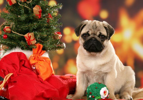 All I want for Christmas is a pug Weihnachtshund, Hunde