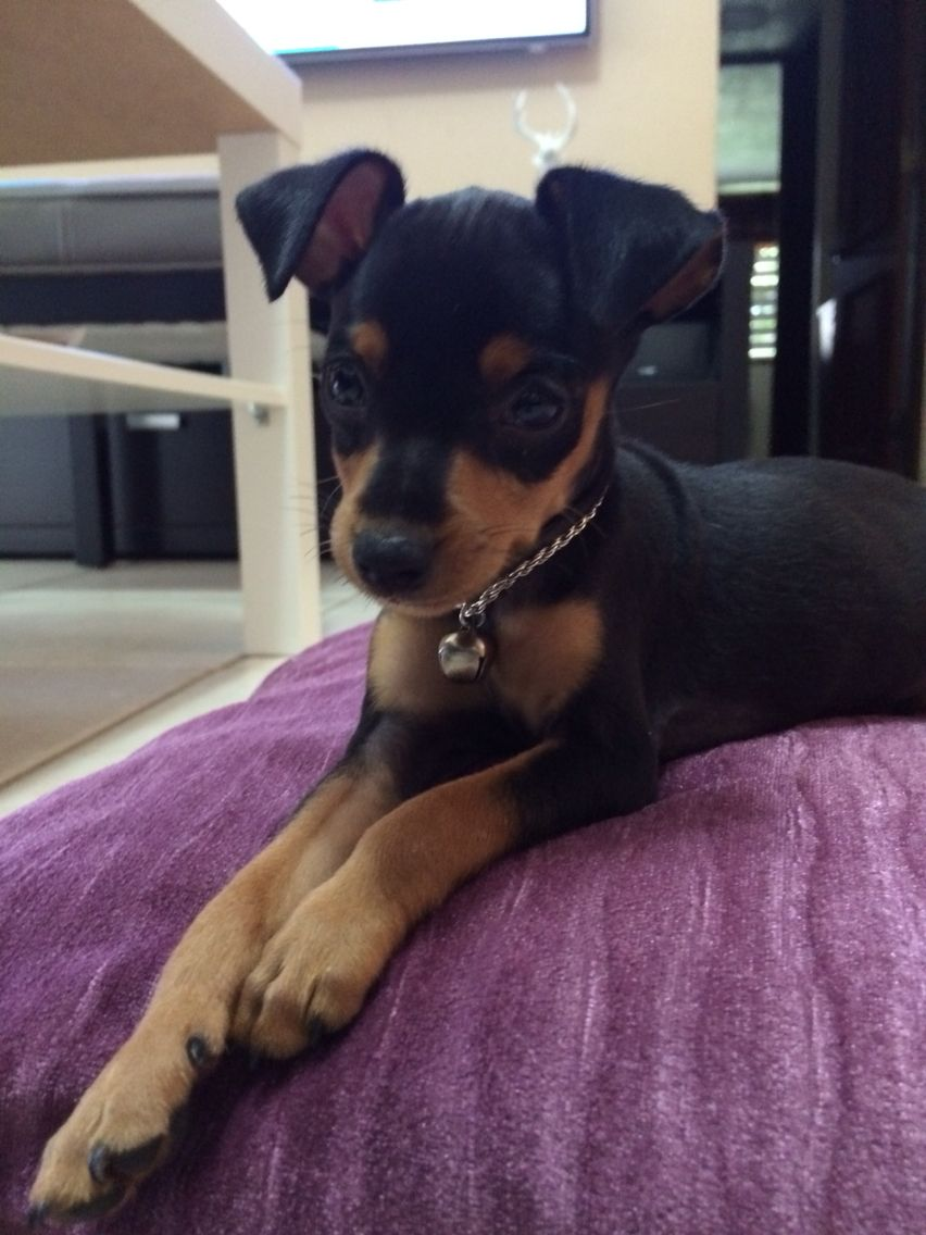 Muniature Pinscher The Princes Of The House Miniature Pinscher Mini Pinscher English Toy Terrier