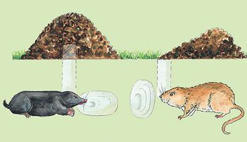 Wuhlmause Bekampfen So Werden Sie Die Plagegeister Los Garten Garten Pflanzen Pflanzen Gegen Wuhlmause