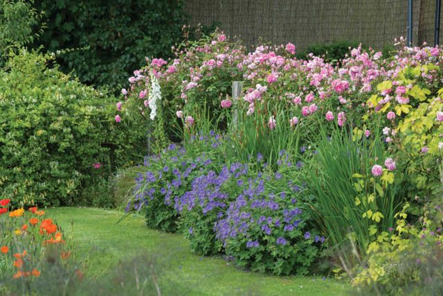 gardenexpert Rosa Shrub Rose Bonica