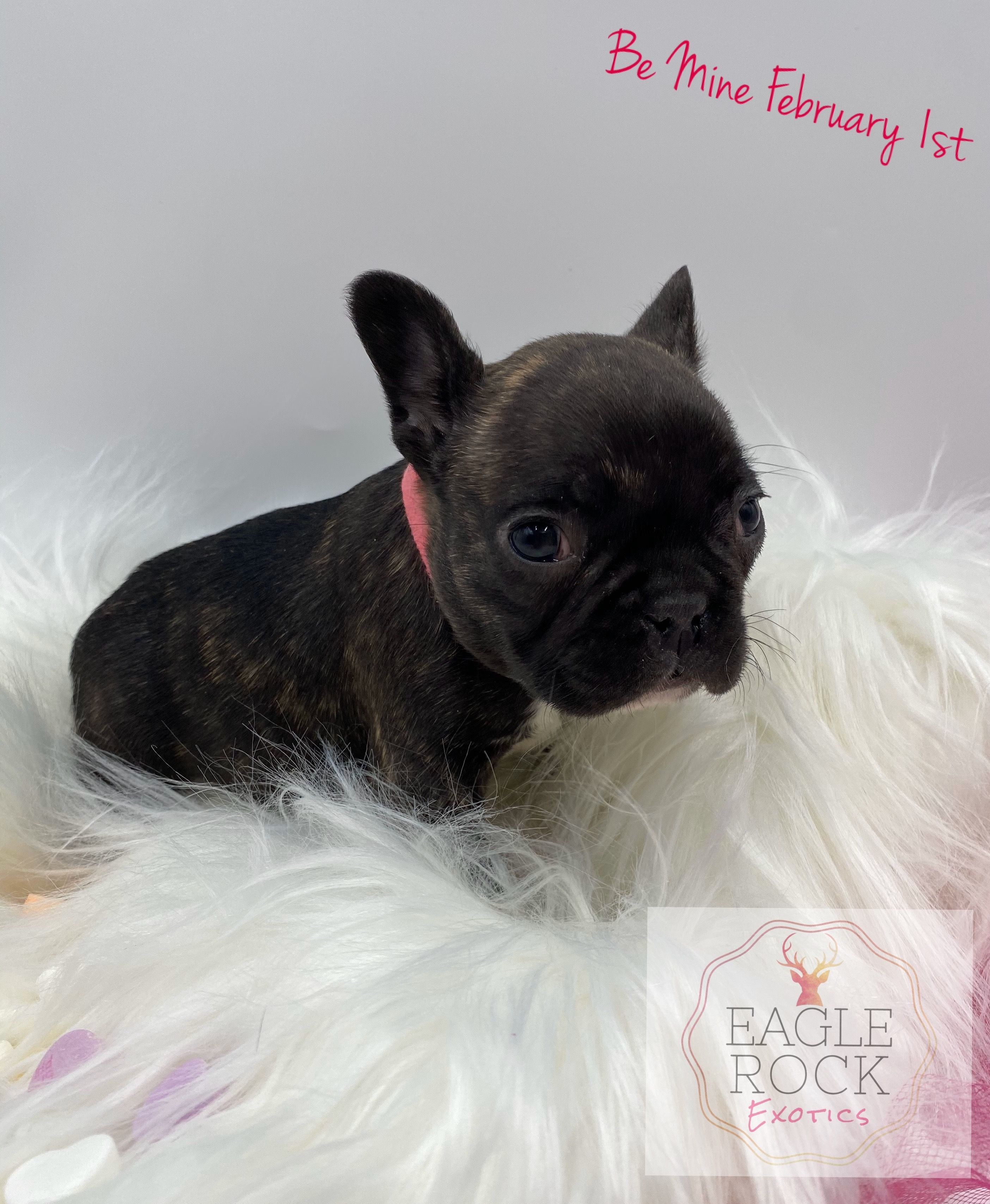 Breed French Bulldog Gender Female Registry AKC