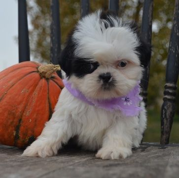 Shih Tzu Puppy For Sale In Oro Valley Az Usa With Images