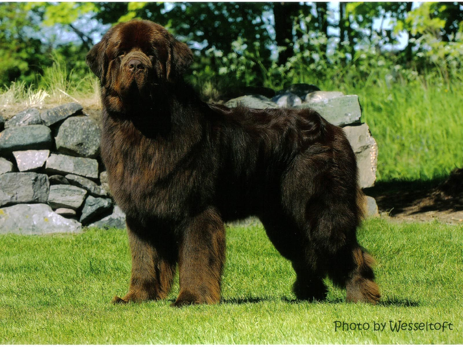 141 best dogs: newfoundland images on pinterest | newfoundland