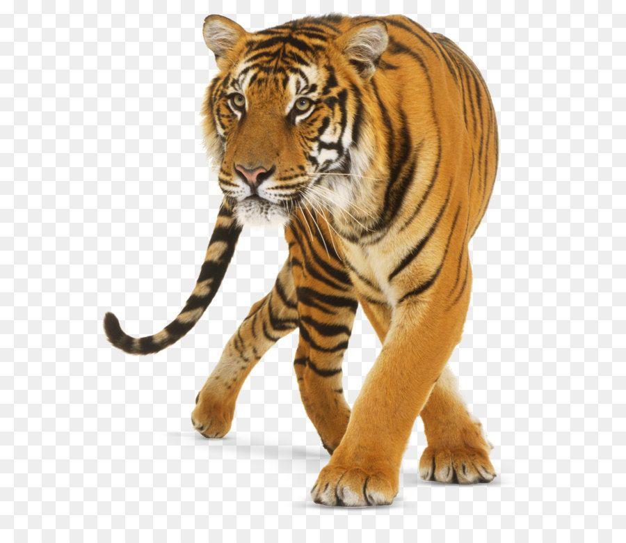 Tiger Cat Tiger Png Tiger Images Photoshop Pics Png