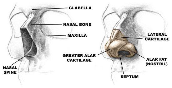 How To Draw The Nose Labeled Glabella Nasal Bone Maxilla Nasal