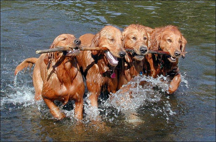 Team work.  Goldens love to play with a stick!!
