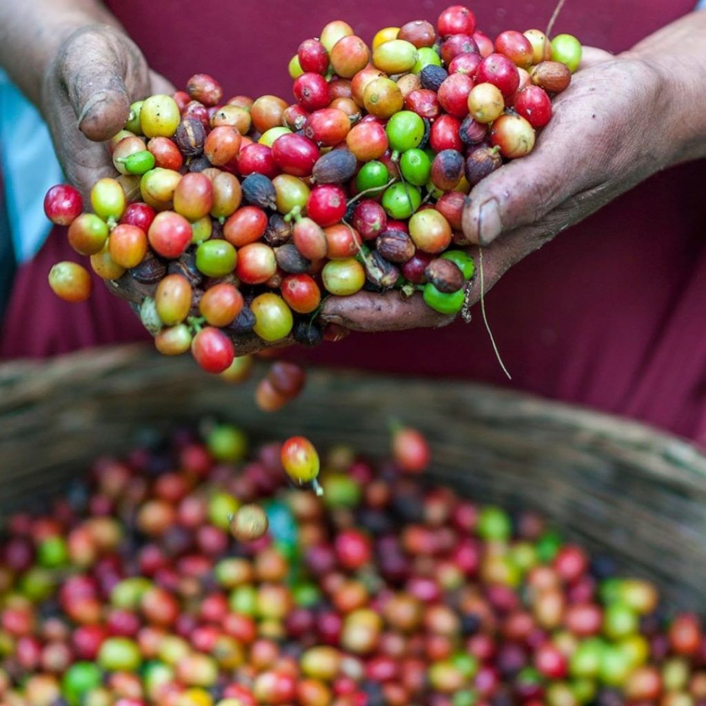 Coffee Basics Where Does Coffee Come From? Coffee plant