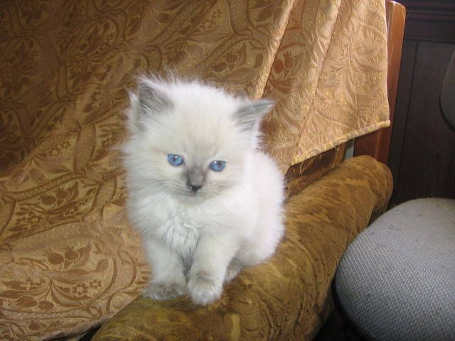Ragdoll Kittens Purebred For Sale Adoption From Korumburra
