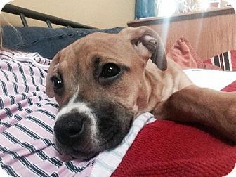 Buffalo Ny Pit Bull Terrier Mix Meet Bella A Puppy For Adoption