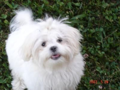 Maltese Cross Shih Tzu Animals Shih Tzu Dogs