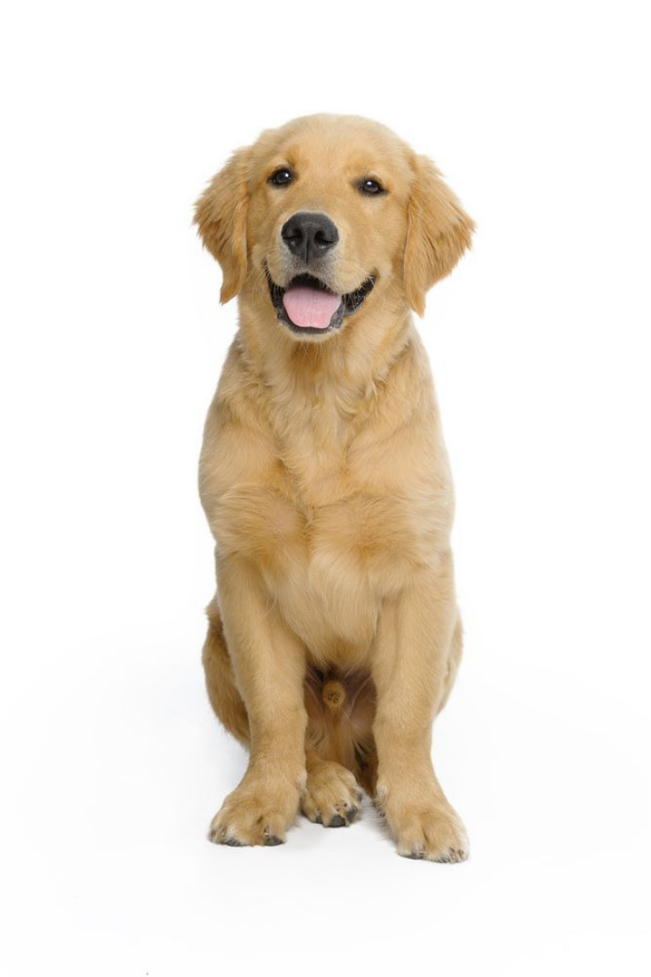 Golden Retriever Puppy Goldenretriever In 2020 Golden Retriever Golden Retriever Puppy Retriever Puppy