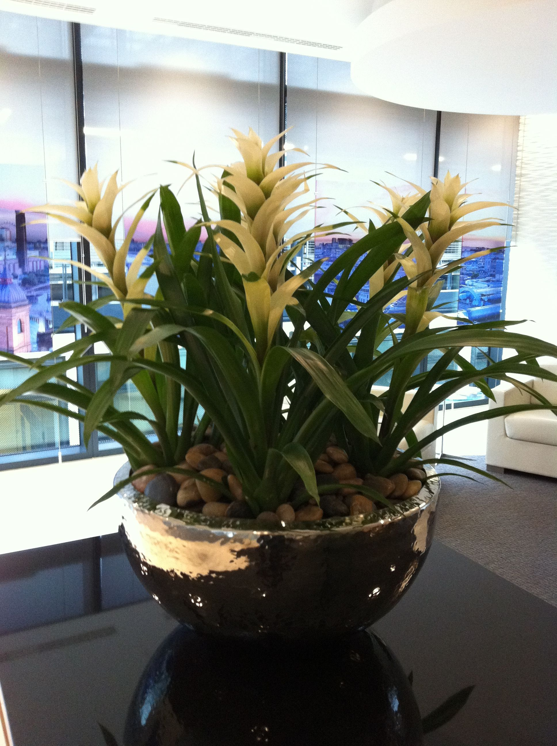 White guzmania 39 s planted in hammered aluminium bowl in for Pflanzengestaltung garten