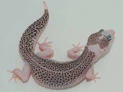 Ultimate Gecko\'s \