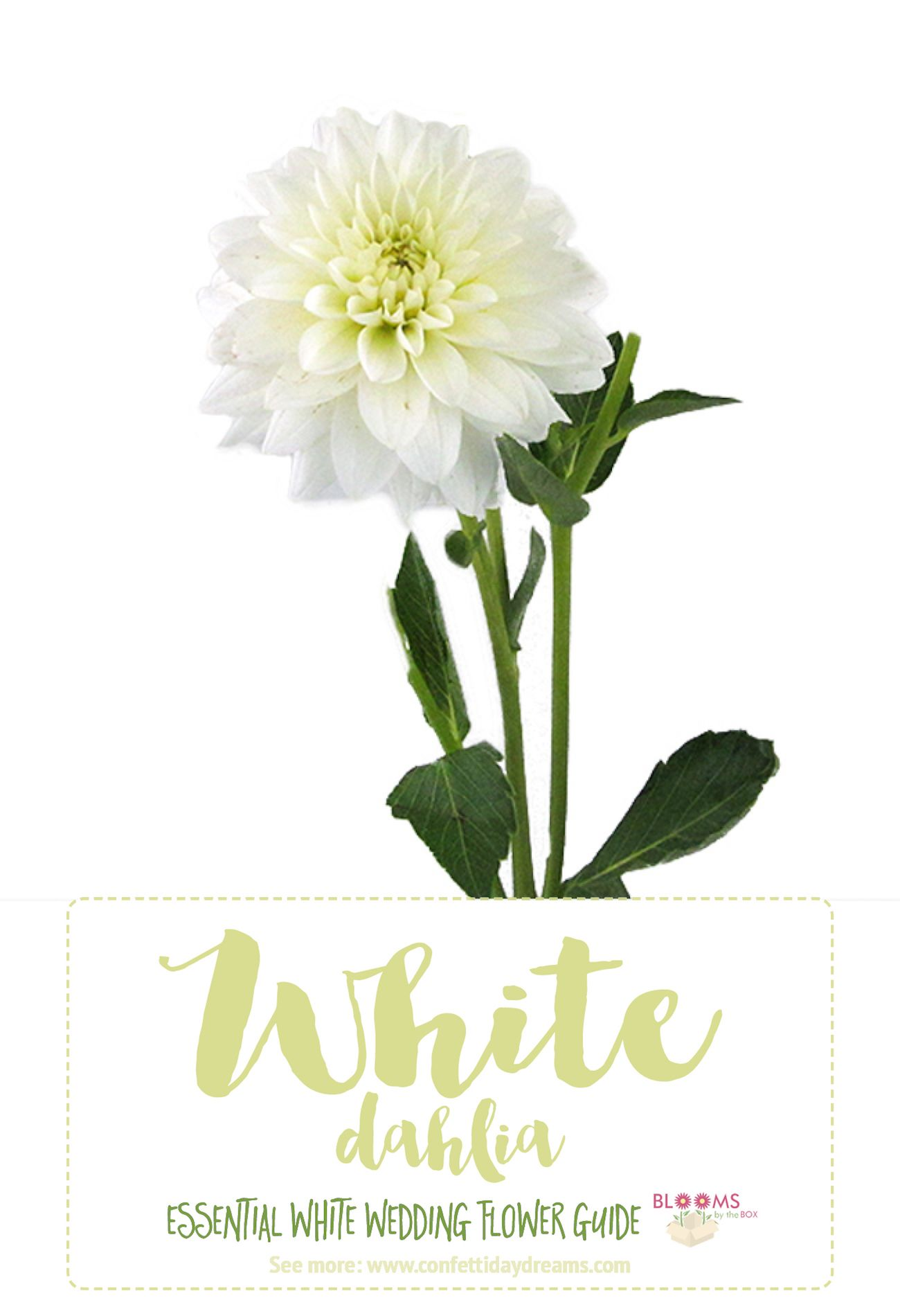 Essential white wedding flower guide names types pics types of white flowers httpconfettidaydreamstypes mightylinksfo