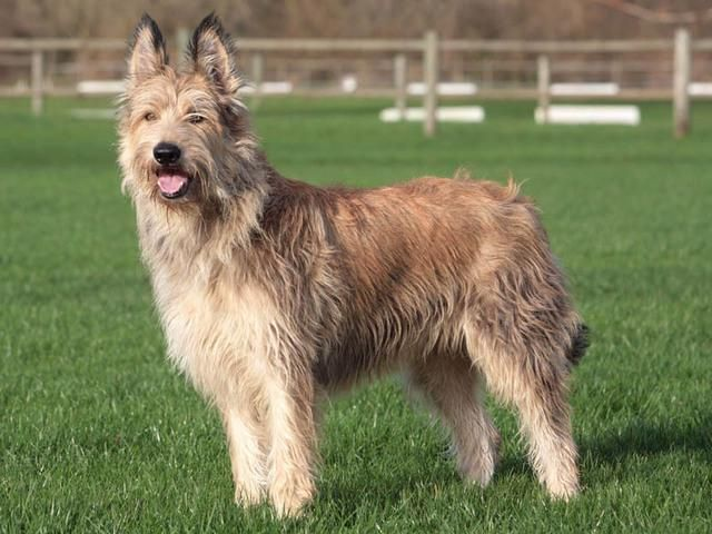 Dog Breeds Berger Picard Dog Temperament And Personality Dog
