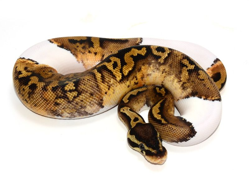 Pastel Pied Yellow Belly