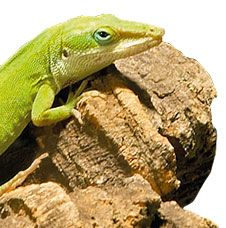 Bringing A Reptile Into The Family Size Maintenance Level Personality And Proper Handling Are Just A Few Of Reptiles Pet Pet Lizards Reptile Care