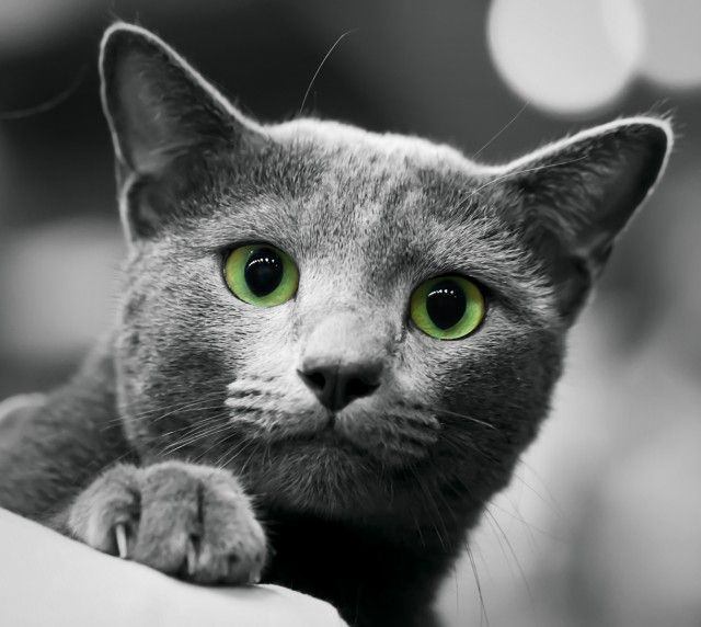These Features Differentiate The Russian Blue From Other Blue Purebred Cats Such As The Much Stockier Chartreux Russian Blue British Blue Cat Cats And Kittens