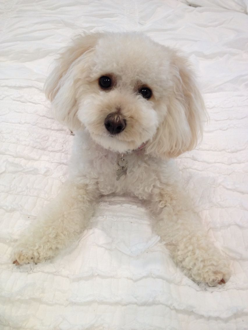 Litter Of 2 Poochon Puppies For Sale In Flushing Mi Adn 35174 On Puppyfinder Com Gender Male Age 8 Weeks Old Puppies For Sale Poochon Puppies Puppies