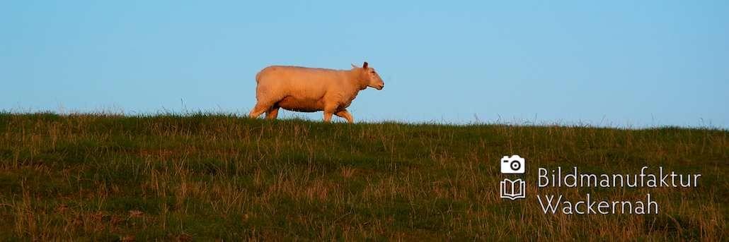 nice Fotografie »Schaf auf'm Deich – Föhr«,  #Naturansichten