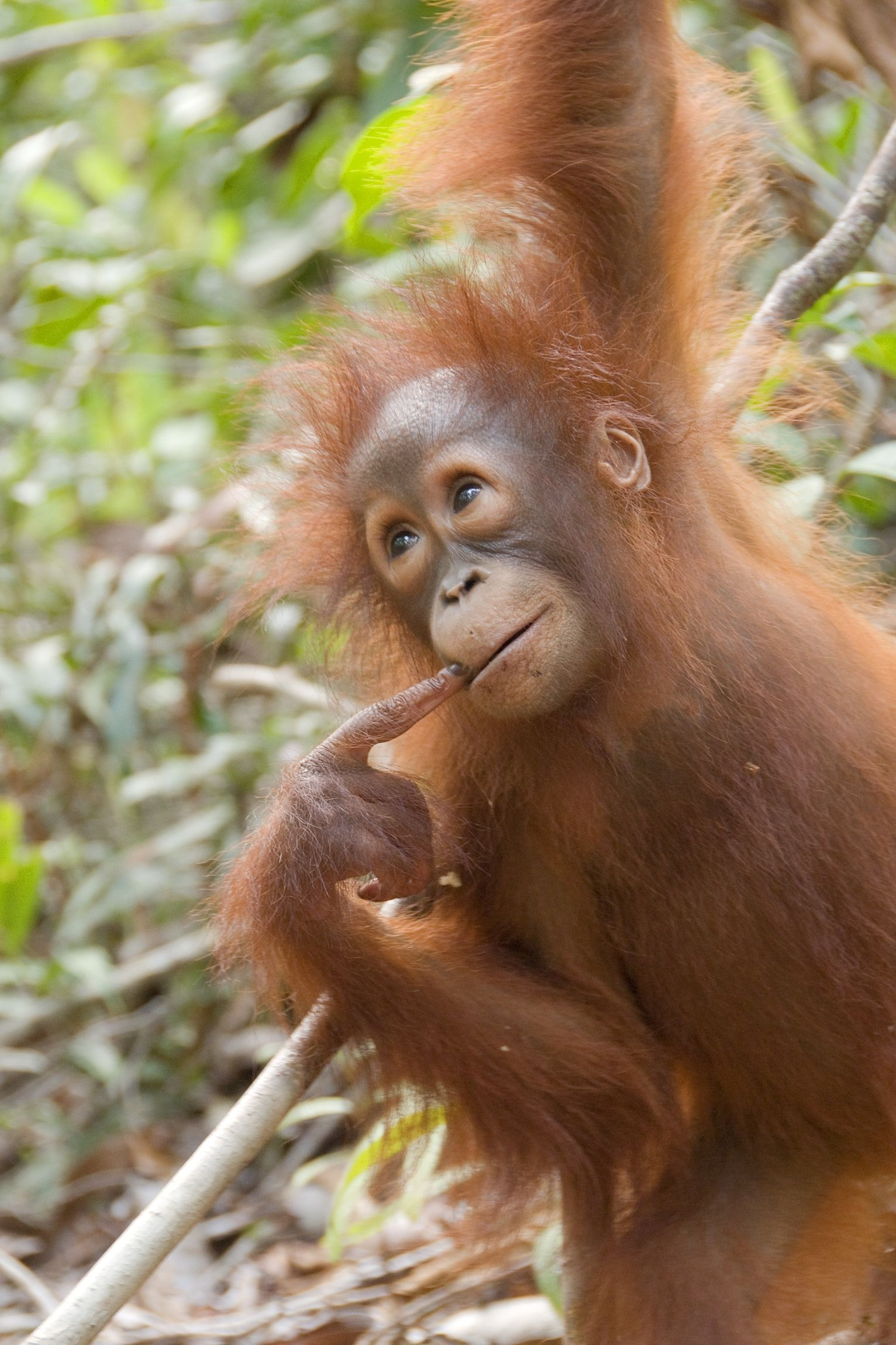 Now, I know this one... is it 4?  (Juvenile Bornean orangutan)