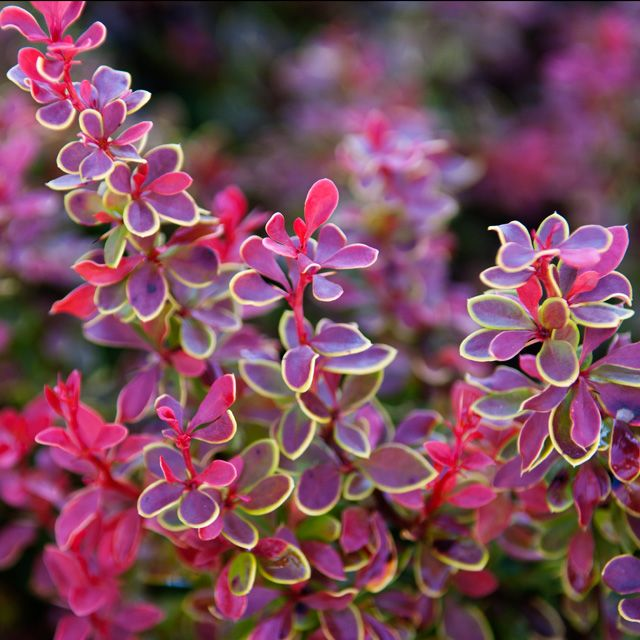 Want this barberry 39 admiration 39 cactus y suculentas for Arbustos ornamentales perennes