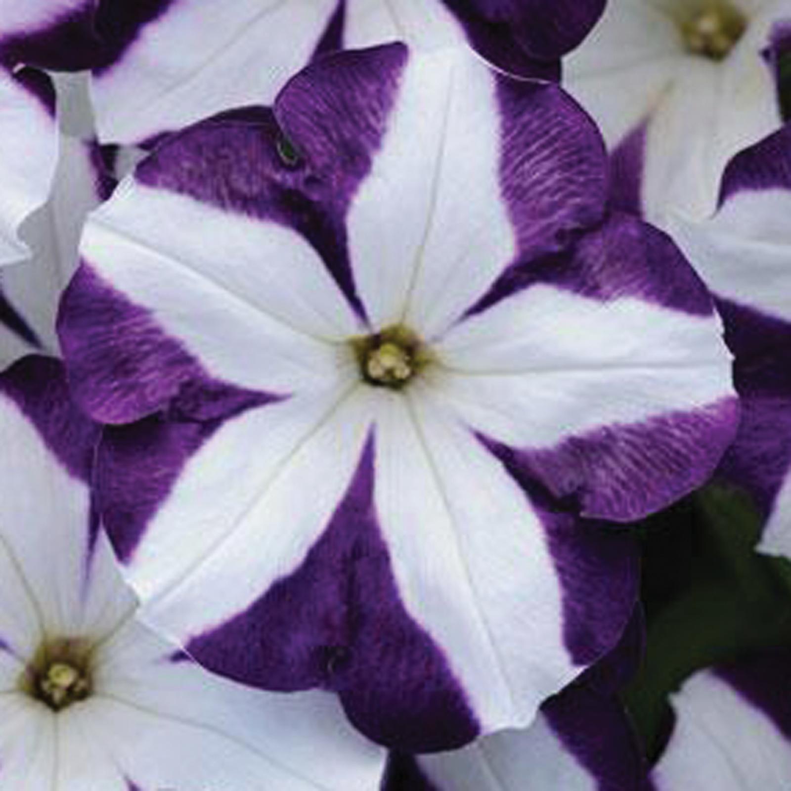 Variegated Petunia Purple And White Petunias Petunia Plant Flower Seeds