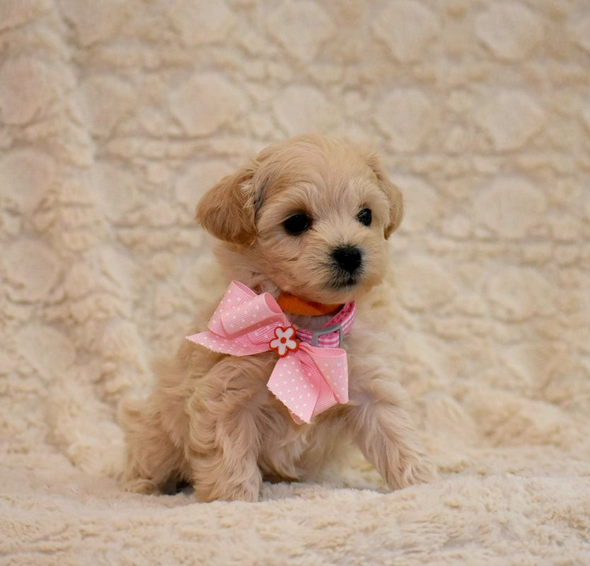 Toy Apricot Schnoodle At 6 Weeks Of Age Hypoallergetic Family Dog Schnoodle Puppies Family Dogs