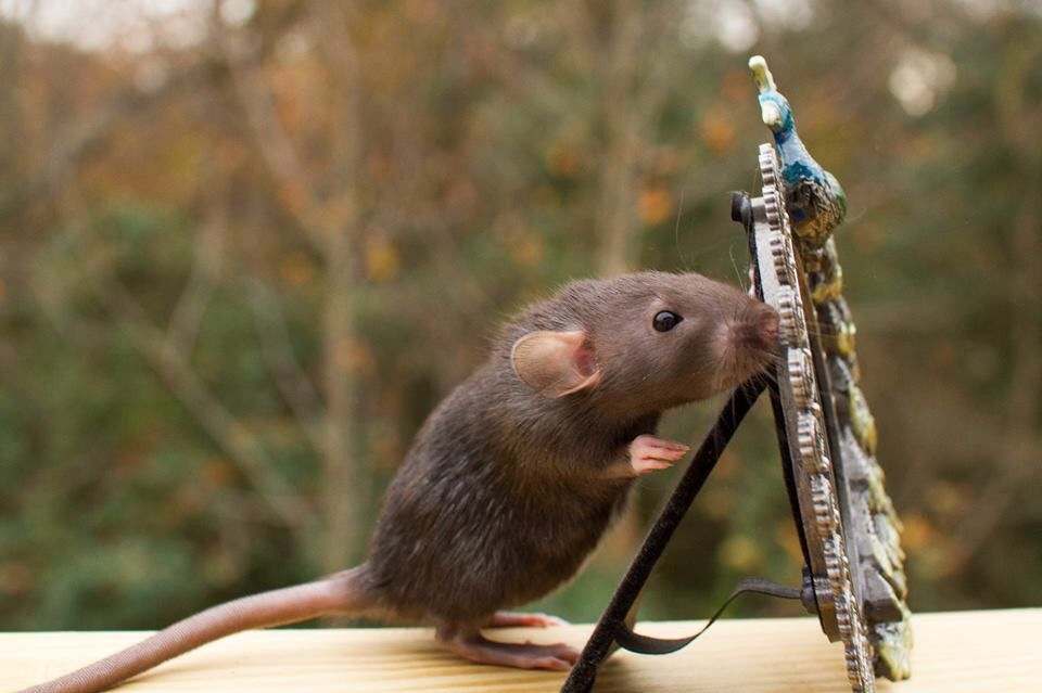 "Lulu the 6 week old Irish marked Dumbo rat peeks around her mirror before her photo shoot. ""Ready for me?"""